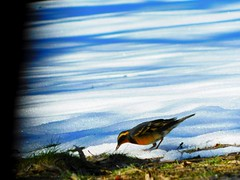 On the Edge of Spring (starmist1) Tags: thrush variedthrush snowfield grass green bird snow spring march warmer clearsky bluesky sunny sunshine ontheedgeofspring