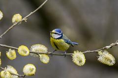 springtime (alderson.yvonne) Tags: bird spring yvonne yvonnealderson blue tit bluetit