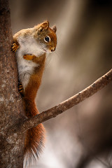 Pondering (flashfix) Tags: march292019 2019inphotos flashfix flashfixphotography ottawa ontario canada nikond7100 55mm300mm redsquirrel squirrel rodent animal wildlife merbleue