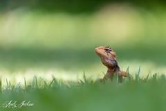 03-04-2019 Common Lizard (zandy1978) Tags: wildlife reptiles lizard thailand