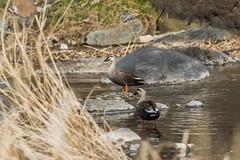Ducks (Charlie Lee.) Tags: southkorea republicofkorea korea 한국 canon 7dmarkii daegu 대구 bird 새 조류 birds sincheon stream river 신천 duck 오리