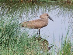 500_2498 (Bird Brian) Tags: hamerkop