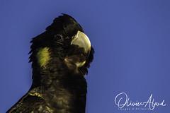 _IO_7884-MAir1 (oalard) Tags: australia australie bird oiseau nsw maroubra black cacatoès funèbre yellowtailed cockatoo
