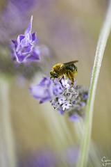 polinización, lavanda, abeja (Catalina Ginard) Tags: polinizacion lavanda abeja campo mallorca