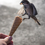 Sparrows are so smart and cute. They tried to steal my ice cream cone ... 3 thumbnail