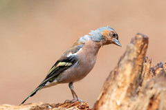 Common chaffinch (Fringilla coelebs) Vink (Ron Winkler nature) Tags: chaffinch vink fringillacoelebs fringilla coelebs veluwe bird birding birdwatching birdwatcher nature wildlife netherlands nederland europe canon 5div 500mm