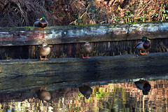 Basingstoke Canal Deepcut 17 January 2019 004 (paul_appleyard) Tags: basingstoke canal deepcut surrey heath january 2019 ducks duck row reflections reflected reflection winter colours