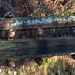 Basingstoke Canal Deepcut 17 January 2019 004 thumbnail