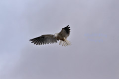 White tiled Kite 28 (ahmed_eldaly) Tags: sandiego california usa nature birds birding wildlife photography egyptianphotographer