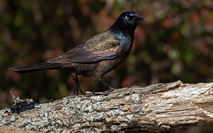 Grackles Need Love Too! (Randy E. Crisp) Tags: randyecrisp randycrisp recrisp photography canon100400mmvii canon7dmkii nikonp900 paristexas brush sticks stump spring centralflyway male female
