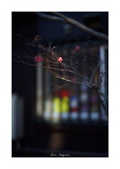 2019/1/13 - 8/18 photo by shin ikegami. - SONY ILCE‑7M2 / Carl Zeiss C Sonnar T* 1.5/50 ZM (shin ikegami) Tags: 紅葉 macro マクロ 井の頭公園 吉祥寺 winter 冬 asia sony ilce7m2 sonyilce7m2 a7ii 50mm carlzeiss sonnar csonnar50mmf15 tokyo sonycamera photo photographer 単焦点 iso800 ndfilter light shadow 自然 nature 玉ボケ bokeh depthoffield naturephotography art photography japan earth