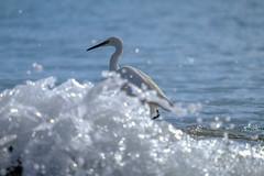 Little Egret3 (kalbasz) Tags: nature fuert fuerteventura xf55200 xt2 fuji spain little egret outdoor sea ocean water beach