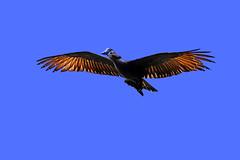 Hammerkopf (Michael Döring) Tags: gelsenkirchen bismarck zoomerlebniswelt zoo hammerkopf afs105mm14e d850 michaeldöring
