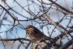 Song Sparrow (Melospiza Melodia) (Accipiter22) Tags: birds wildlife animalphotography animals birdwatching birding melospizamelodia nature natureshots outdoors songsparrow rockmeadow belmont