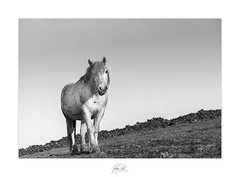 Uphill (AnthonyCNeill) Tags: black white weis weiss schwarz blanco negro bianco nero noir blanc horse pferd caballo cheval portrait equine equestrian animal monochrome hill stonewall field countryside grüne campo campagne outdoor film grain nikon f3 50mm ilford hp5