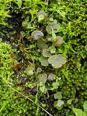 P1050968 (Hiker Bob) Tags: 20190220 bryophytes liverwort meanderthals sangabrielmountains sangabrielriver westfork