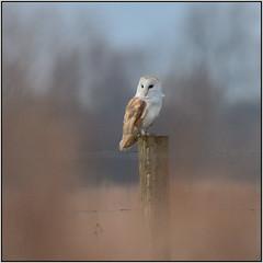 Barn Owl (image 2 of 2) (Full Moon Images) Tags: wicken fen burwell nt national trust wildlife nature reserve cambridgeshire bird birdofprey barn owl