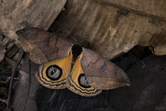 Giant silkworm moth (Automeris sp.) (ggallice) Tags: giantsilkwormmoth saturniidae automeris moth insect lepidoptera bellavista bellavistacloudforestreserve andes mountains cloudforest ecuador