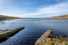 SJ1_5272 - Cant Clough Reservoir, Burnley (SWJuk) Tags: burnley england unitedkingdom swjuk uk gb britain lancashire worsthorne cantclough cantcloughreservoir reservoir water ripples geese birds infeed wideangle horizon hills hillside moors moorland desolate isolated solitude bluesky clouds 2019 feb2019 winter nikon d7200 nikond7200 rawnef lightroomclassiccc tokinaatx116prodxii1116mm