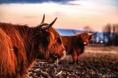 highland friends (Nicky Nikon / steffographie) Tags: highlands büffel animal winter 2019 fujifilm steffographie