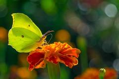 illuminated... (milance1965) Tags: garten butterfly illuminated beleuchtet sonne sommer sony sonya57
