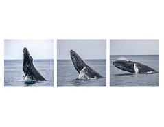 Humpback whales (julesnene) Tags: march32019 worldwildlifeday julesnene juliasumangil travelgirljulia farallonislands farallones gulfofthefarallones farallonnationalwildliferefuge farallonislandswhalewatching lifebelowwater wildlife humpback whalewhalehumpback whalemegaptera novaeangliaebaleen whaletriptychcanon 7d mark iicanon 2canon ef 70200mm f4l usm lens breach breaching