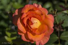 Edelrose Fairest Cape - 16071802 (Klaus Kehrls) Tags: valentinstag rose blume pflanze blüte flora