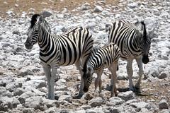 Protecting The Foal (Alan1954) Tags: three zebras animals etosha africa holiday 2018 namibia