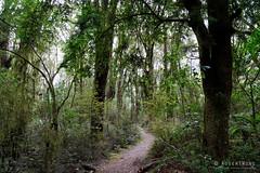 20190209-23-Podocarp forest (Roger T Wong) Tags: 2019 makarora nz newzealand rogertwong sel24105g sony24105 sonya7iii sonyalpha7iii sonyfe24105mmf4goss sonyilce7m3 southisland