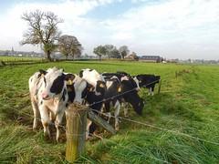 Cows (sander_sloots) Tags: koeien landschap achterhoek animals beesten landscape bronckhorst vee cattle farm farmland cows