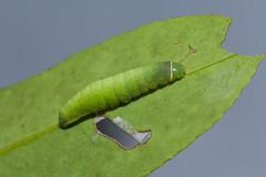 IMG_4212 (vlee1009) Tags: 2019 60d canon march nantou taiwan nature moths larvae caterpillars