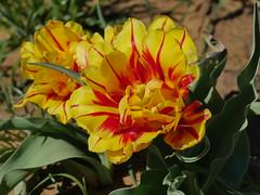 Texas Tulip Farm (Corgibird) Tags: tulips spring springflowers springtime annuals flowers nature naturallight sunshine blueskies windy farm tulipfarm pilotpointtexas texas pink red yellow green rows picnicbench tents hybrids grass