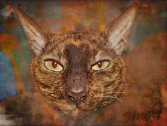 Eyes of a Cornish Rex (jta1950) Tags: eyes cat chat cornishrex portrait zs100 animal texture crisbuscaglialenz