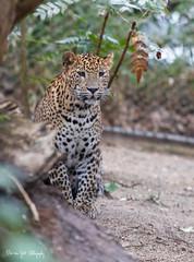 SriLankaPanter8 (Borreltje.com) Tags: panter panther bigcat bigcats srilankapanther cat cats leopard jaguar zoo burgerszoo dierentuin