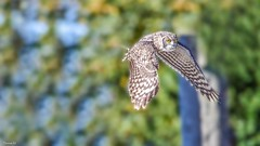 Owl - 6573 (ΨᗩSᗰIᘉᗴ HᗴᘉS +56 000 000 thx) Tags: bird fauna faune nature owl hibou belgium europa aaa namuroise look photo friends be yasminehens interest eu fr party greatphotographers lanamuroise flickering animal pairidaiza