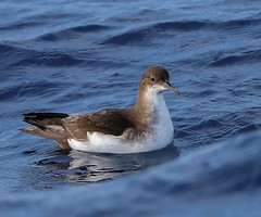 Puffinus gavia (ftbirds) Tags: forster nsw australia barry m ralley barrymralley pelagic bird species great lakes region puffinus gavia fluttering shearwater