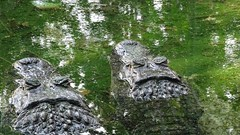 Jacarés (sileneandrade10) Tags: sileneandrade jacaré jacarédepapoamarelo alligatoridae caimanlatirostris caiman natureza amazônia selva floresta nature água espelho reflexo abstrato abstractnature crocodilo réptil sonydschx400v sony