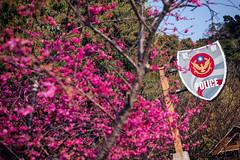 D68_4012 (brook1979) Tags: 台灣 台中 泰安 警察局 櫻花 春天 花季 粉 紫 taiwan taichung flower sakura 八重櫻