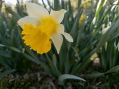 daffodil (bjwhite66212) Tags: flower daffodil 52framesnew bloom spring 52frames blossom lexington kentucky unitedstatesofamerica us