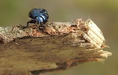 Broad-shouldered Leaf Beetle (Chrysolina oricalcia) (Nick Dobbs) Tags: leaf beetle chrysolina oricalcia chrysomelidae chrysomelinae dorset insect col broadshouldered