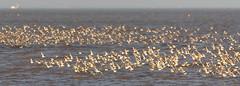 Wader Flocks at Snettisham (andybam1955) Tags: coastal birds northnorfolk wildlife norfolk snettisham