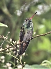 Rufous-tailed Hummingbird (Amazilia tzacatl) 03-08-2019 Laguna de Arenal--dam area, Alajuela, CR 1 (Birder20714) Tags: birds costa rica hummingbirds trochildae amazilia tzacatl