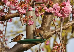 Goldfinches and Flowering Cherry Blossom (Derningtona) Tags: goldfinch floweringcherry blossom