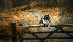 10/52  The 5 Bar Gate Treatment! (JJFET) Tags: 10 52 weeks for dogs paddy border collie leaps 5 bar gate sheepdog dog