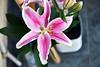 Fraicheur (Pensive glance) Tags: lily lilium liys amaryllis