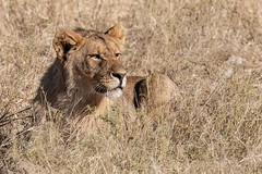 Etosha Lion (gecko47) Tags: animal mammal feline cat lion male young carnivore hunting etoshanationalpark namibia swafrica predator pantheraleo waterhole grass camouflage okaukuejo