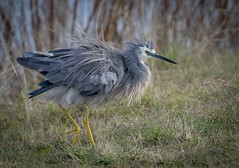 White-Faced Heron - feather fluffing (njohn209) Tags: birds d500 nikon nz