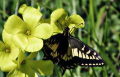 Sourgrass nectar (TJ Gehling) Tags: insect lepidoptera butterfly papilionidae swallowtail swallowtailbutterfly aniseswallowtail papilio papiliozelicaon plant flower oxalidales oxalidaceae sourgrass woodsorrel oxalis oxalisstricta albanyhill albanyca