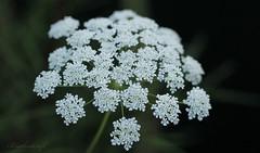 11.01.19 Queen Anne's Lace (blackcatcraft) Tags: mygarden garden flowers queenanneslace flora white