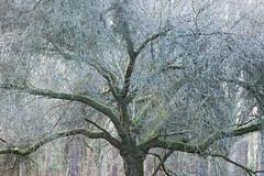 Branching Out III (craig.denford) Tags: viriginia water sunningdale berkshire surrey canon 7d mk ii manfrotto craig denford tree